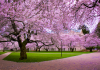 trees with pink cherry blossoms